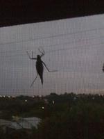 Na zaver krasna kobylka v rannim šeru ... Alce se hrozne libila, ale na Alci nove kamarady svaby nema:-)