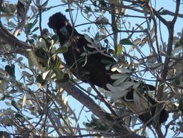 Ze stromu nás pozorovali vzácní černí kakaduové