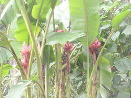 Honzík mi tvrdil, že to jsou červené banány..